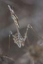 Empusa fasciata, Chloraka