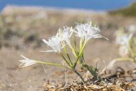 Liliaceae, Lara