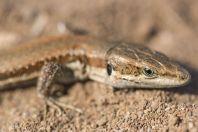 Phoenicolacerta troodica, Lara