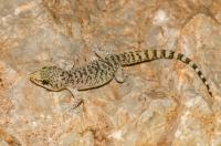 Hemidactylus turcicus, Xyli Dimotikon