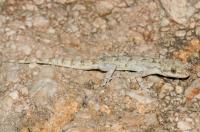 Mediodactylus kotschyi, Xyli Dimotikon