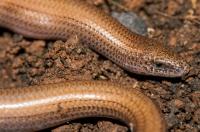 Ophiomorus punctatissimus, Mani