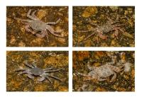 Crabs, Exo Nimfio