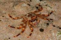 Crab, Exo Nimfio