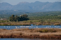 Flamingos, Messenia