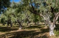 Olivový háj, Stenosia