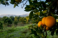 Pomerančový sad poblíž Sparty