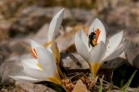 Crocus niveus, Aroania