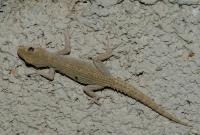 Mediodactylus kotschyi, Sikionas