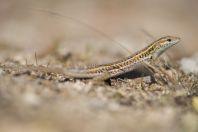 Ophisops elegans, Filerimos