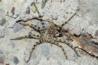 Spider, Apolakkia