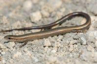Ablepharus kitaibelii, Lakki