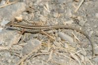Ophisops elegans, Lakki