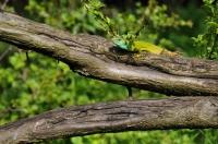 První plaz - Lacerta viridis ještě v Bulharsku