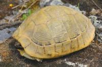 Ve východním Řecku lze narazit na takto vybarvené T. hermanni
