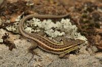 Ophisops elegans, Dadia