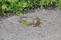 Námluvy Lacerta viridis