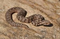 Mládě úžasné zmije Montivipera xanthina