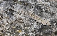 Mediodactylus kotschyi, blízko Alexandropolis