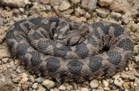 Dospělá samice Montivipera xanthina