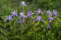 Iris sp., Jazhnikan Najim