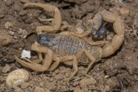 Scorpionidae, Sisawa