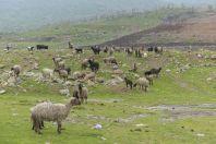 Ovce, Goraz