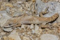 Mediodactylus sp., Dokan