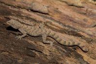 Mediodactylus sp., Birke