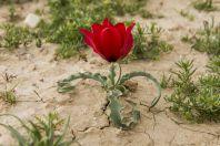 Tulipa systola, Havat MaShash