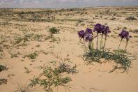 Iris mariae, Negev
