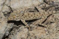 Ptyodactylus guttatus, Yeruham