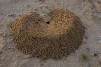 Ant activity in Negev Desert