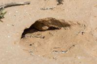 Acanthodactylus cf. schreiberi, Kmehin