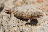 Hemidactylus cf. turcicus, Mitzpe Ramon