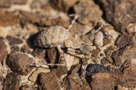 Eremiaphila brunneri, Makhtesh Ramon
