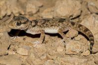 Stenodactylus sthenodactylus, Makhtesh Ramon
