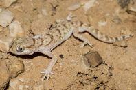 Stenodactylus sthenodactylus, Samar