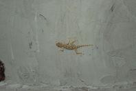 Ptyodactylus guttatus, Makhtesh Gadol