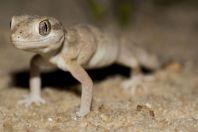 Stenodactylus sthenodactylus, Makhtesh Gadol