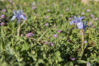 Moraea sisyrinchium, Golan