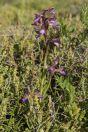 Orchis papilionacea, Golan