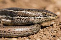Trachylepis vittata, Hermon