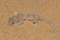 Stenodactylus sthenodactylus, Hatseva
