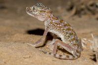 Stenodactylus doriae, Hatseva