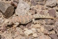 Uromastyx ornata, Eilat Mountains