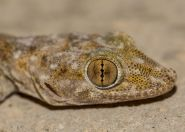 Ptyodactylus hasselquistii, Eilat Mountains
