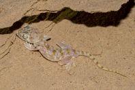 Stenodactylus doriae, Samar