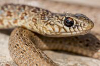 Dolichophis jugularis, Burgin