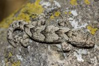 Mediodactylus orientalis, Khirbet Tsura